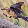 Description - Boat-tailed Grackle <b>Title - Stepping Out</b> 3rd Place <i>- Arthur Jacoby</i>