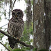 Description - Barred Owl <b>Title - Where Am I?</b> <i>- Betsy Stibal</i>