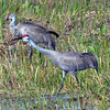 Description - Sandhill Cranes <b>Title - Sandhill Cranes</b> <i>- Andy Neureuther</i>