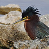 Description - Green Heron <b>Title - Feathers Up</b> <i>- Bridget Lyons</i>