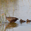 Description - Limpkin Mother and Chicks <b>Title - Limpkin Parade</b> <i>- Andy Neureuther</i>