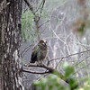 Description - Baby Great Horned Owl <b>Title - Where'd Everybody Go?</b> <i>- Betsy Stibal</i>
