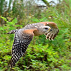 Description - Red-shouldered Hawk in Flight <b>Title - Red Shoulder Flight</b> <i>- Andy Neureuther</i>