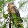 Description - Red-shouldered Hawk <b>Title - Red Shoulder Pose</b> <i>- Andy Neureuther</i>