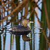 Description - Pied-billed Grebe <b>Title - Pied-billed Grebe</b> Honorable Mention <i>- Ed Mattis</i>