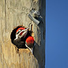 Description - Pileated Woodpecker Babies <b>Title - Being Cute Is So Tiring!</b> <i>- Betsy Stibal</i>