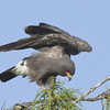 Description - Snail Kite <b>Title - Snail Kite</b> Honorable Mention <i>- Ruth Pannunzio</i>