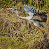 Description - Great Blue Heron <b>Title - Take-off</b> <i>- Arthur Jacoby</i>