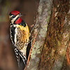 Description - Yellow-bellied Sapsucker <b>Title - Yellow-Bellied Sapsucker</b> Best In Show <i>- Meg Puente</i>