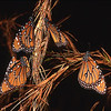 Description - Queen Butterflies <b>Title - Gathering of Queens</b> <i>- Jeremy Raines</i>