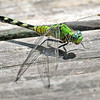 Description - Eastern Pondhawk Dragonfly <b>Title - Great Pondhawk Dragonfly</b> <i>- Harvey Mendelson</i>