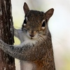 Description - Squirrel <b>Title - Squirrel</b> Honorable Mention <i>- Lyle Gabor</i>