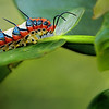 Description - Ruddy Daggerwing Caterpillar <b>Title - Ruddy Daggerwing Caterpillar</b> 2nd Place <i>- Meg Puente</i>