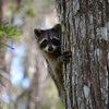 Description - Raccoon <b>Title - Peek-a-boo!</b> Honorable Mention <i>- Michael Morningstar</i>
