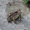 Description - Leopard Frog <b>Title - Just Take the Picture Lady</b> <i>- Betsy Stibal</i>
