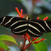 Description - Zebra Longwing Butterfly <b>Title - Zebra Longwing</b> <i>- Deborah Moroney</i>