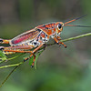 Description - Lubber Grasshopper <b>Title - Lubber Grasshopper</b> 1st Place <i>- Ed Mattis</i>