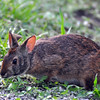 Description - Marsh Rabbit <b>Title - Marsh Rabbit</b> <i>- Howard Bernstein</i>