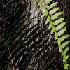 Description - Giant Sword Fern <b>Title - The Fern</b> <i>- Leszek Zarebski</i>