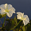 Description - Moonflowers <b>Title - Moonflowers</b> 1st Place <i>- Ed Mattis</i>