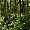 Description - Cypress Trees and Ferns <b>Title - Cypress Swamp and Ferns</b> <i>- Louise Perez</i>