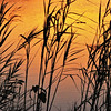 Description - Giant Reeds at Sunset <b>Title - Silhouette</b> <i>- Harvey Mendelson</i>