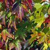 Description - Red Maple Leaves <b>Title - Autumn Leaves</b> <i>- Harvey Mendelson</i>