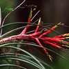 Description - Cardinal Air Plant and Grasshopper<br> <b>Title - Bromeliad and Friend</b><br> <i>- Jeremy Raines</i>