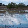 Description - View from Marsh Trail <b>Title - Birds on Island in C-7 Impoundment</b> <i>- Barry Mintzer</i>