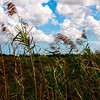 Description - Giant Reeds and Clouds Over the Marsh <b>Title - Puffy Clouds</b> <i>- Adrienne Bergen</i>