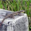 Description - Curly-tailed Lizard <b>Title - A Lizard in the Sun</b> <i>- Adam Kersten</i>