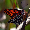 Description - Gulf Fritillary Butterfly <b>Title - I Used to Be a Caterpillar</b> Honorable Mention <i>- Noah Kersten</i>