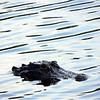 Description - Alligator <b>Title - Swimming Through Reflections</b> <i>- Adam Kersten</i>