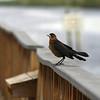 Description - Boat-tailed Grackle <b>Title - Bird at the Dock</b> Honorable Mention <i>- Hali Klopman</i>