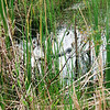 Description - Alligator <b>Title - Alligator</b> <i>- Dylan Sellitti</i>