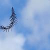 Description - Cypress Needle <b>Title - Floating Leaf</b> <i>- Adam Kersten</i>