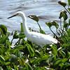 Description - Snowy Egret <b>Title - Egret</b> <i>- Devan Sellitti</i>