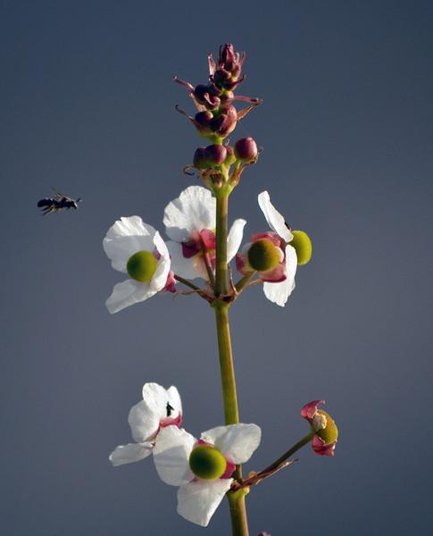 Description - Honey Bee flying towards Duck Potato <b>Title - Coming In For a Landing</b> 1st Place <i>- Noah Kersten</i>