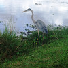 Description - Great Blue Heron <b>Title - Great Blue Heron</b> 2nd Place <i>- Dylan Sellitti</i>