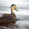 Description - Mottled Duck <b>Title - Honker</b> Honorable Mention <i>- Dion Sellitti</i>