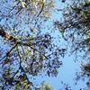 Description - Cypress Trees <b>Title - Looking Up</b> <i>- Devan Sellitti</i>