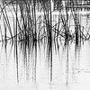 <b>Title - Reeds in Black and White</b> <i>- Gwen Solomon</i>