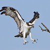 <b>Title - Osprey Land</b> 3rd Place <i>- Ruth Pannunzio</i>
