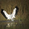 Description - Wood Stork <b>Title - In All My Glory</b> <i>- Debbie Rubin</i>