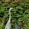Description - Great Blue Heron <b>Title - Did They Fly East?</b> <i>- Herbert Paul Froehlich</i>