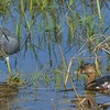 <b>Title - Tricolored Heron and Pied-billed Grebe Stare Down</b> <i>- Bridget Lyons</i>
