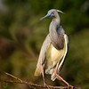 <b>Title - Tricolored Heron</b> <i>- Herbert Zaifert</i>