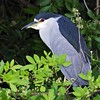 <b>Title - Black-crowned Night Heron</b> <i>- Ed Mattis</i>