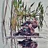 <b>Title - Florida Mottled Ducks</b> <i>- Joan Murnane</i>