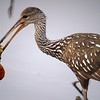 Description - Limpkin with Apple Snail <b>Title - Snails for Breakfast</b> Honorable Mention <i>- Jeffrey Hall</i>